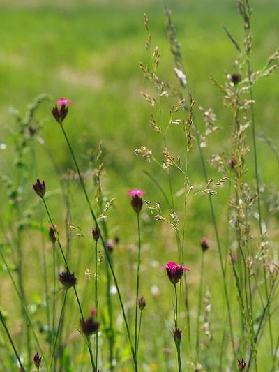 nell'immagine vediamo una fioritura di dianthus carthusianorum. Risulta una specie selvatica molto presente anche in italia oltre che in europa.