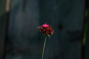 Il dianthus cruenthus e il dianthus carthusianorum sono due specie selvatiche presenti nei prati