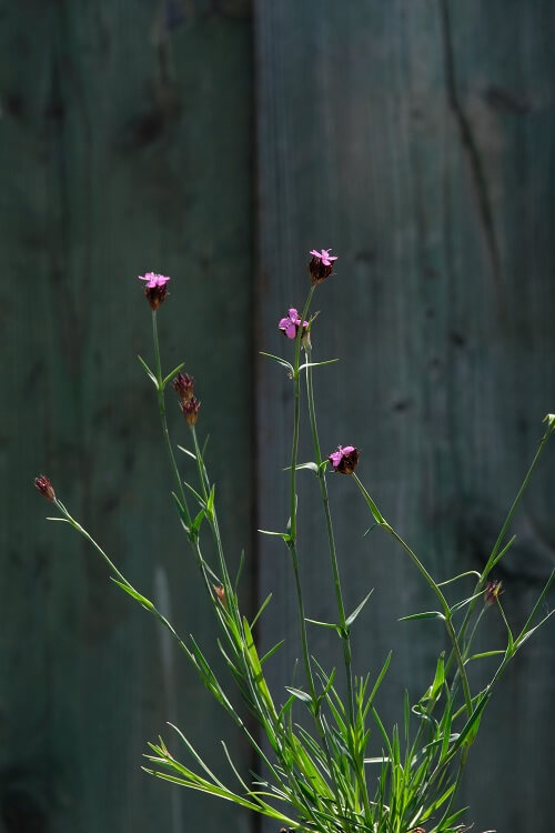 il dianthus cathusianorum è una pianta spontanea in Italia ed Europa. Il suo fiore a mazzetto è conosciuto da tutti coloro che amano il trekking.