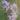Dianthus-superbus