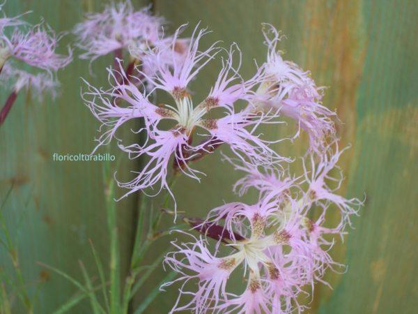 Anche il Dianthus superbus come il dianths carthusianorum viene considerata una pianta prativa, si caratterizza per un fiore molto frangiato e dalla fragranza inebriante.