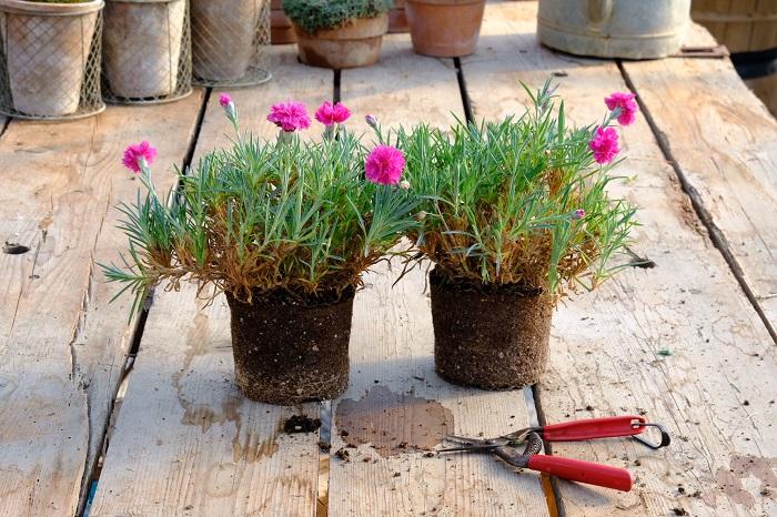 Potare le piante di garofano è una buona pratica soprattutto se le piante sono disarmoniose come nella foto