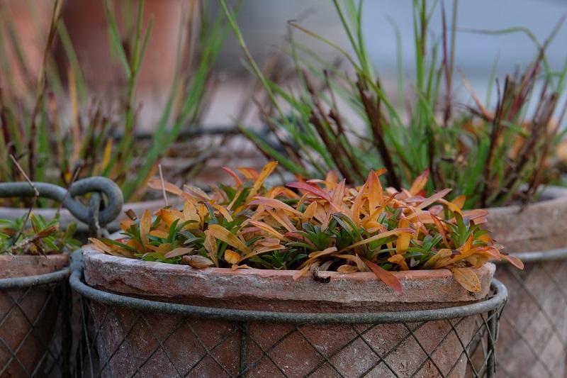 forme e colori per l'inverno in giardino di una silene alpestris