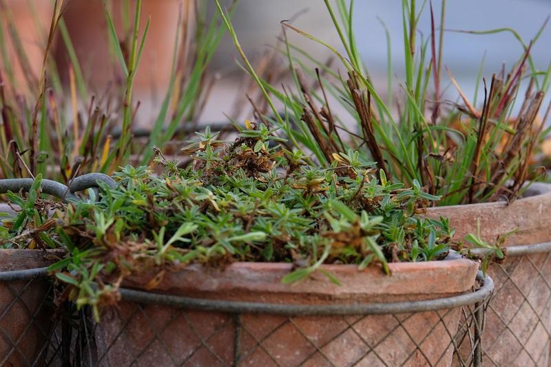 in foto vediamo un primo piano di un dianthus deltoides albus con le forme e colori per l'inverno in giardino