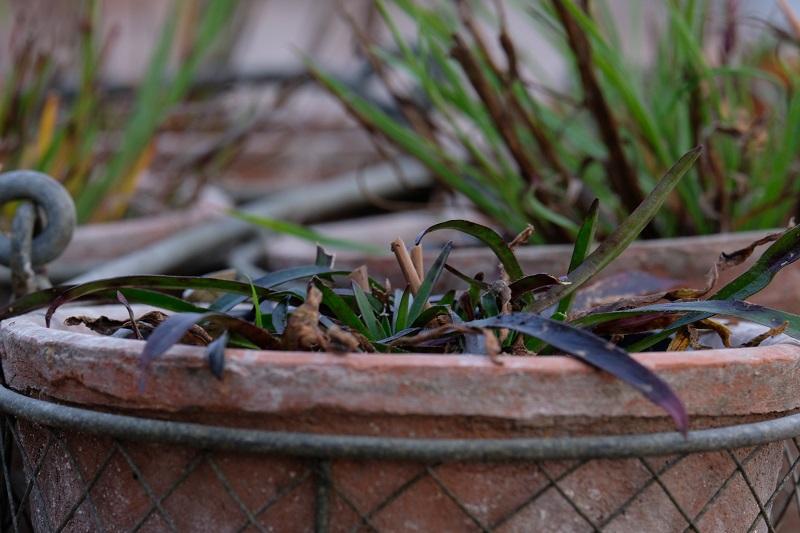 in foto vediamo un primo piano di un dianthus armeria con le sue caratteristiche forme e colori per l'inverno in giardino