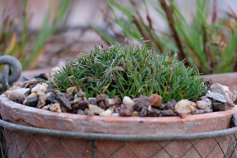 in foto vediamo un primo piano di un dianthus arenarius' little maiden' con le sue caratteristiche forme e colori d'inverno in giardino