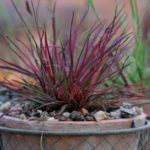 forme e colori per l'inverno in giardino di un dianthus carthusianorum