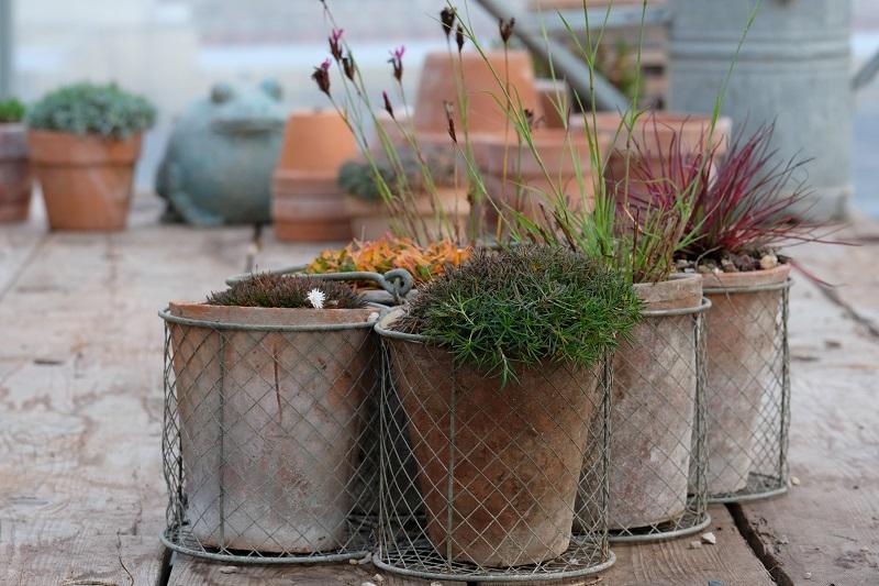 forme e colori per l'inverno in giardino di piante di dianthus a confronto