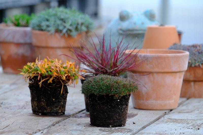 Tre Dianthus messi a confronto. Questo effetto risulta un valore aggiunto ornamentale per dare forme e colori d'inverno in giardino
