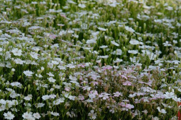 primo piano su una fioritura di silene alpestris