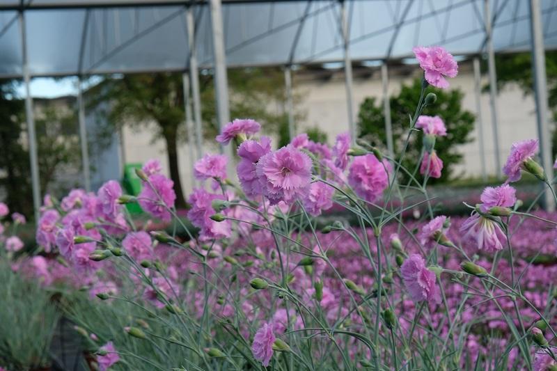 il dianthus Pike's Pink è inserito nella lisata delle varietà di garofani antichi o varietà nostalgiche detti anche garofanini della nonna