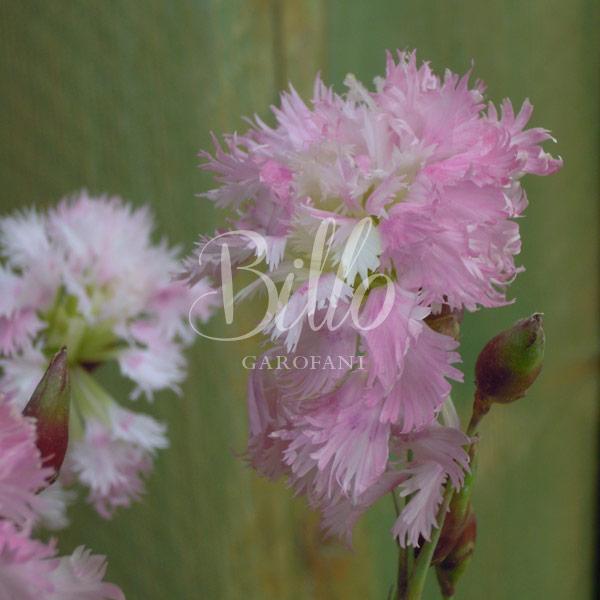il dianthus plumarius altrosa è inserito nella lisata delle varietà di garofani antichi o varietà nostalgiche detti anche garofanini della nonna