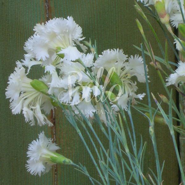 il dianthus plumarius Maischnee è inserito nella lisata delle varietà di garofani antichi o varietà nostalgiche detti anche garofanini della nonna
