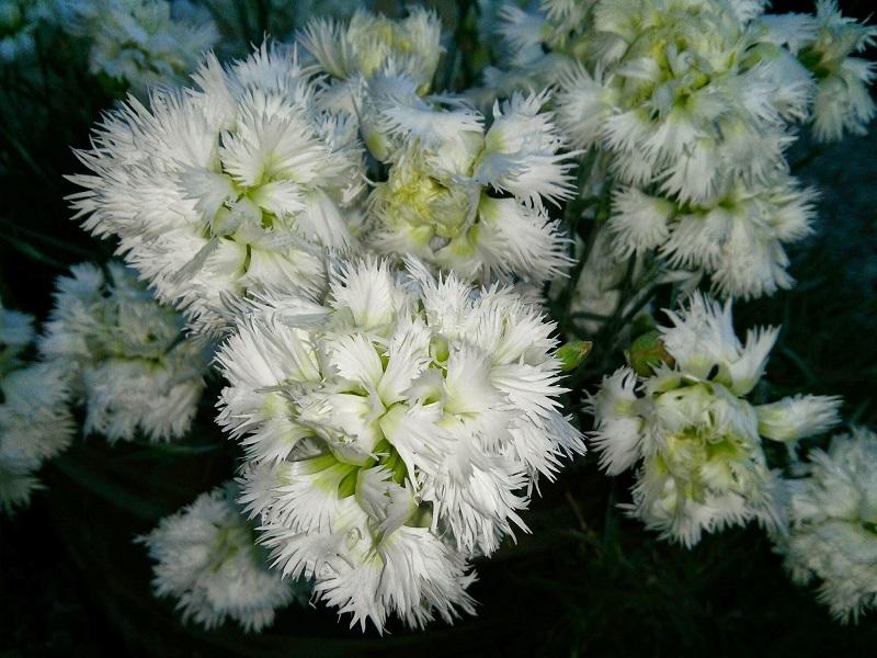 il dianthus Mrs Sinkins è inserito nella lisata delle varietà di garofani antichi o varietà nostalgiche detti anche garofanini della nonna