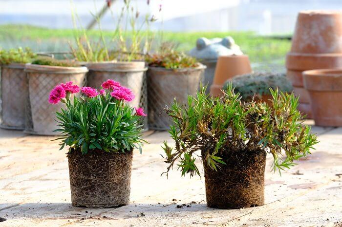 Come potare le piante di garofani? Facile! Floricoltura Billo è un'azienda specializzata in dianthus in Italia e vi permetterà di conoscere tutti i segreti della buona cura e gestione della pianta dei dianthus