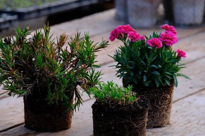Come potare le piante di garofani? Facile! Floricoltura Billo è un'azienda specializzata in dianthus in Italia e vi permetterà di conoscere tutti i segreti della buona cura e gestione della pianta dei dianthus. Gli ibridi moderni di garofanini si possono cimare con facilità durante tutto l'anno. Per chi ha meno esperienza l'autunno e l'inverno è un periodo che permette più semplicità di gestione. Usare delle forbici ben disinfettate e per il primo periodo essere attenti a non disidratare la pianta.