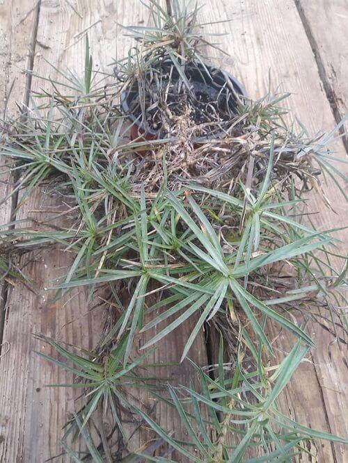 il dianthus plumarius è un garofanino che si presta benissimo alla moltiplicazione per propaggine.