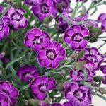 Il Dianthus Diantica violet blue è il colore novità dell'anno 2020/2021 tra i garofani da giardino