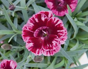 il dianthus diantica bordeaux è un recentissimo ibrido selezionato dall'azienda tedesca selecta_one. E' un garofano da giardino molto rustico perenne dal colore viola molto interessante.