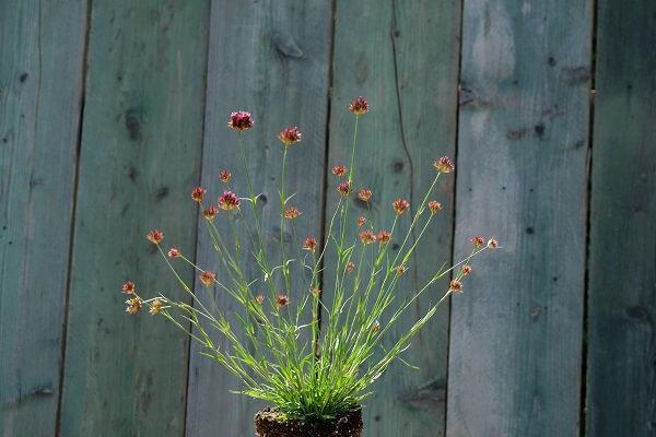 La rivista Gardenia parla del Dianthus Pinifolius che si presenta con un cespo non molto vigoroso ma compatto e ordinato, dal bel colore verde.