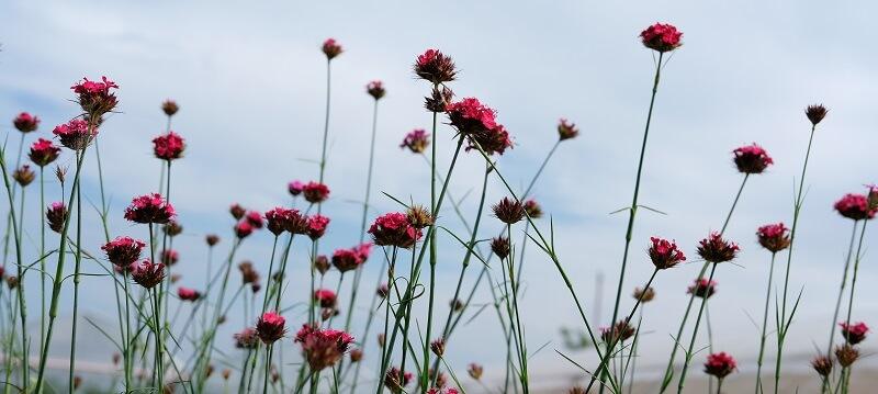 Come descritto sulla rivista Gardenia, il dianthus pinifolius regala una fioritura generosa durante tutta l'estate.