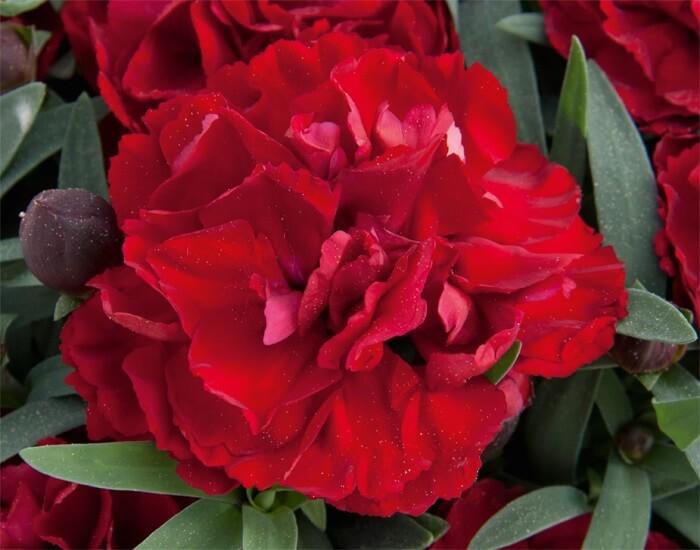 Dianthus valentine è un garofano rosso dal particolare effetto vellutato, ottimo da inserire nella lista dei fiori per gli innamorati.