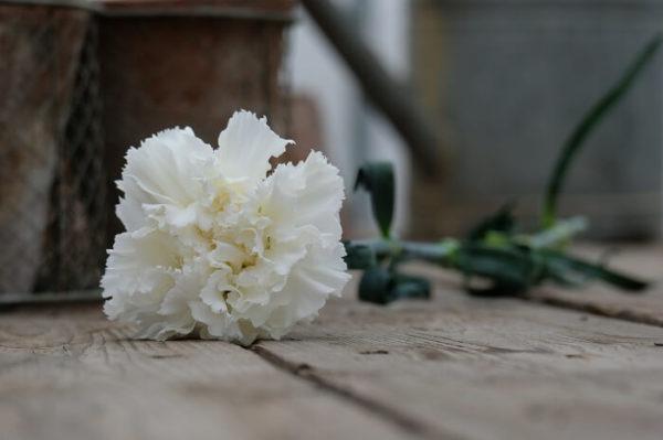 Garofano Standard Carnation Dgd Holly è un classico nelken karafil karafiàt nelliku nellik anjer goździk cravo garoafa гвоздика каранфил nagelj Nelke nejlika szegfű гвоздика dal colore bianco, petalo liscio