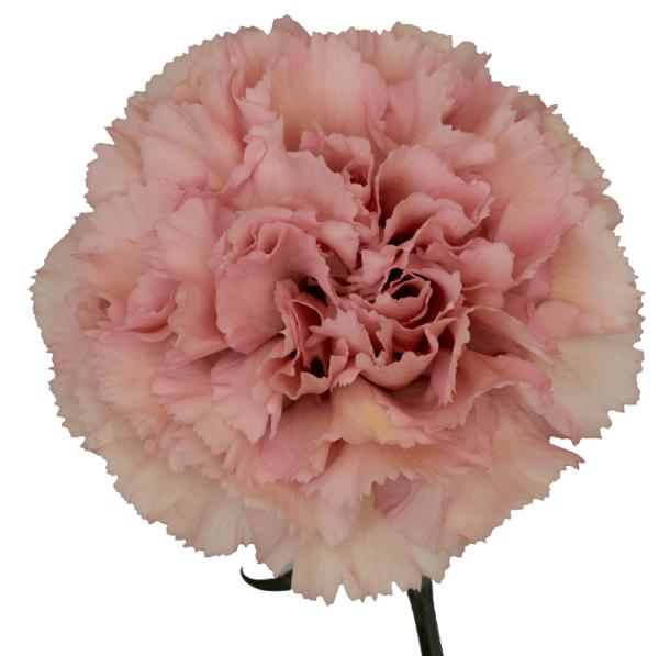 Garofano Standard Carnation Hibrida Thule è un garofano nelken definito moderno dal colore rosa antico.