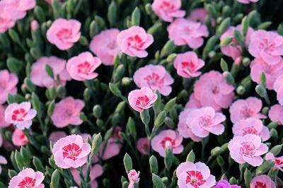 Dianthus Peach Party. Proposto dal gruppo Selecta. La sorella più giovane del precedente 'Pink Kisses'. Stessa genetica, stesso fascino e stessa ambizione il tutto in un colore dal tono più caldo estivo.