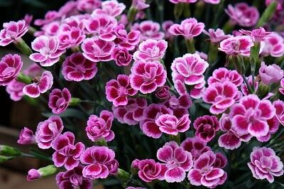 Dianthus Pink Kisses. Proposto dal gruppo  Selecta. Un altro garofanino che ha fatto il giro del mondo in fretta. Rustico, semplice e sempre con la spia della fioritura accesa.