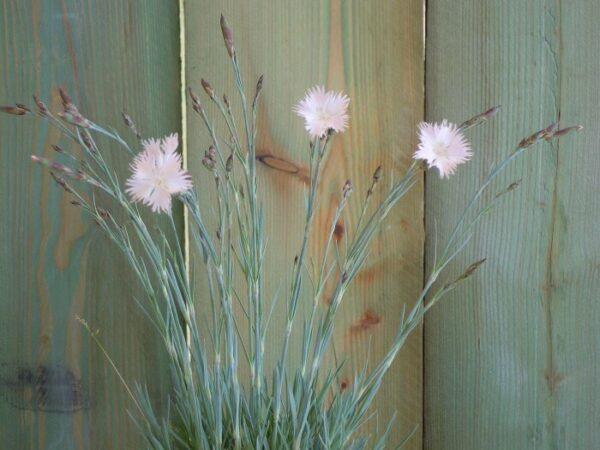 il dianthus plumarius subspecie regis stephani è un garofano spontaneo della regione ungherese