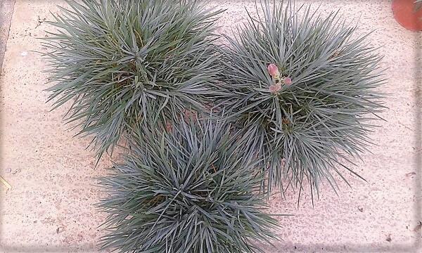 i garofani da vaso profumati sono di ottimo effetto ornamentale anche nella fase invernale senza i fiori.