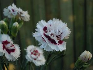 garofani da vaso profumati della selezione scent first