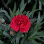 Il dianthus rebekah è un bel garofanino perenne rosso scuro adatto a bordura e vasie