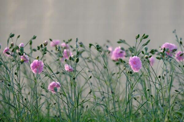 Il dianthus rose de mai è un garofano antico da collezione del 1820