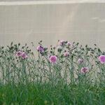 Il dianthus rose de mai è un garofanino della nonna rosa lilla