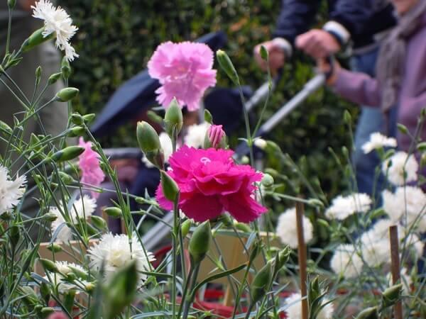 I Garofani plumarius trovano un diffuso utilizzo nei giardini Italiani da tempi molto lontani tanto da farmi sostenere che tutte le varietà di 'Garofani della Nonna' appartengono al gruppo dei plumarius.