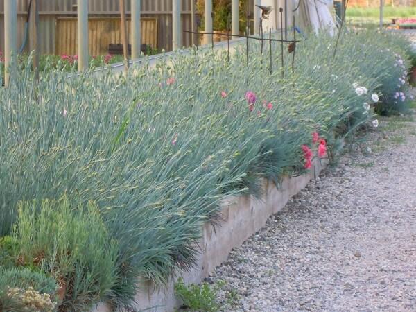 Garofani plumarius coltivati in cassone per la raccolta degli steli a fiore.